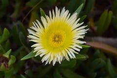 Un fiore giallo e bianco fotografia stock
