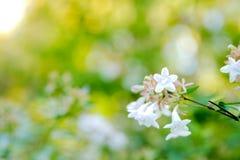 Un fiore Heptacodium Miconioides di sette figli Fotografia Stock