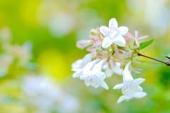 Un fiore Heptacodium Miconioides di sette figli Immagine Stock