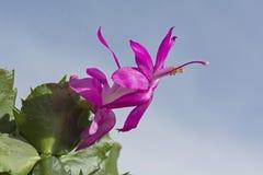 Un fiore magenta del cactus di Natale contro un cielo blu fotografia stock libera da diritti