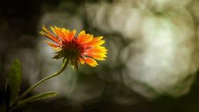 Un fiore meraviglioso di galliadra su luce solare Fotografia Stock