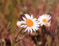 Un fiore molto bello è un simbolo dell'estate fotografia stock