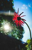 Un fiore nell'ambito di sole Fotografia Stock Libera da Diritti