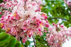 Un fiore o una massa dei fiori su un mazzo del cespuglio o dell'albero delle peonie rosa fresche Fotografia Stock
