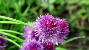 Un fiore piacevole della erba cipollina archivi video