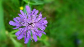 Un fiore porpora stock footage