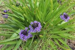 Un fiore porpora-blu di Scilla Peruviana Peruvian Lily e la sua st Immagini Stock Libere da Diritti
