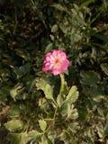 Un fiore rosa Fotografia Stock Libera da Diritti
