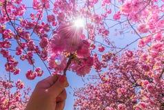 Un fiore rosa del ciliegio è sostenuto allo starburst del sole sotto un cielo blu luminoso Immagini Stock Libere da Diritti