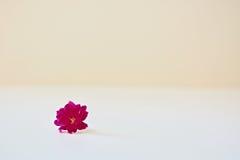 Un fiore rosa del kalanchoe Fotografia Stock Libera da Diritti