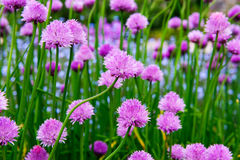 Un fiore rosa della erba cipollina, allium schoenoprasum Immagine Stock