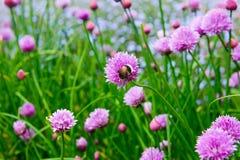 Un fiore rosa della erba cipollina, allium schoenoprasum Fotografia Stock Libera da Diritti