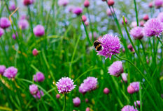 Un fiore rosa della erba cipollina, allium schoenoprasum Fotografia Stock