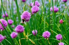 Un fiore rosa della erba cipollina, allium schoenoprasum Fotografie Stock Libere da Diritti