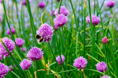 Un fiore rosa della erba cipollina, allium schoenoprasum Fotografie Stock