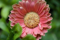 Un fiore rosa della gerbera nel giardino fotografia stock libera da diritti