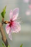 Un fiore del fiore della pesca Fotografia Stock Libera da Diritti