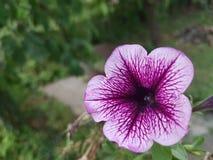 Un fiore rosa e bianco Immagine Stock