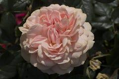 Un fiore rosa luminoso della camelia immagini stock libere da diritti