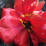 Un fiore rosso fotografia stock