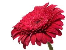 Un fiore rosso contro i precedenti del cielo Immagine Stock Libera da Diritti
