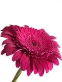 Un fiore rosso contro i precedenti del cielo Fotografia Stock