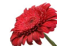 Un fiore rosso contro i precedenti del cielo Fotografie Stock Libere da Diritti