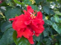 Un fiore rosso dell'ibisco in fioritura Fotografia Stock