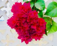 Un fiore rosso della foglia Fotografie Stock