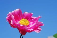 Un fiore rosso della peonia (cappa di lactiflora di Paeonia) fotografie stock libere da diritti