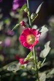 Un fiore rosso distinto della malvarosa Fotografia Stock