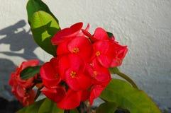 Un fiore rosso luminoso che getta un'ombra su una parete bianca Fotografia Stock