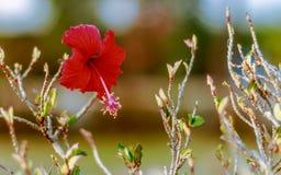 Un fiore rosso nel giardino del villaggio Immagini Stock