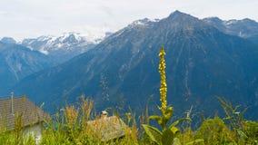 Un fiore sbocciante contro un contesto delle montagne nelle alpi svizzere immagini stock libere da diritti