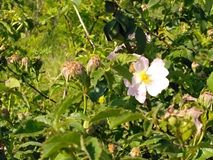 Un fiore solo Fotografie Stock Libere da Diritti