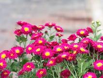 Un fiore variopinto dell'aster aromatico con una luce naturale di mattina S Immagine Stock