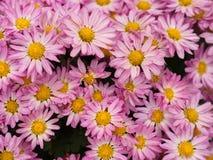 Un fiore variopinto dell'aster aromatico con una luce naturale di mattina S Fotografie Stock