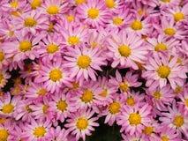 Un fiore variopinto dell'aster aromatico con una luce naturale di mattina S Fotografia Stock
