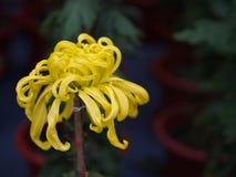 Un fiore variopinto dell'aster aromatico con una luce naturale di mattina S Immagini Stock