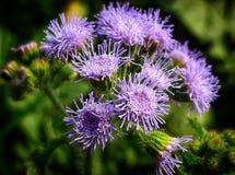 Un fiore viola immagine stock