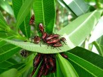 Un firebug el insecto de los mallowImagen de archivo libre de regalías