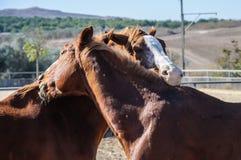 Un flirt e un gioco di due cavalli Immagini Stock