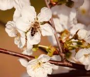 Un flor de la abeja y del melocotón foto de archivo