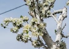 Un flor del árbol en primavera con las abejas en las flores Imágenes de archivo libres de regalías