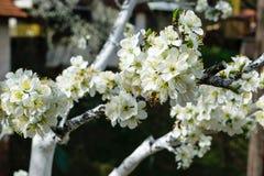 Un flor del árbol en primavera con las abejas en las flores Fotografía de archivo libre de regalías