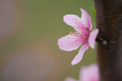 Un flor del melocotón abierto en primavera imagen de archivo libre de regalías