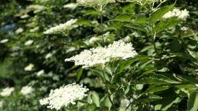 Un flor más viejo del árbol en naturaleza Adultos jovenes almacen de video