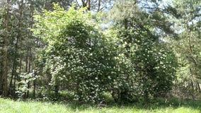 Un flor más viejo del árbol en naturaleza Adultos jovenes metrajes