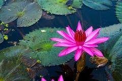 Un flor para la adoración él budista Fotos de archivo libres de regalías