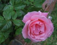 Un florecimiento rosado subió Foto de archivo libre de regalías